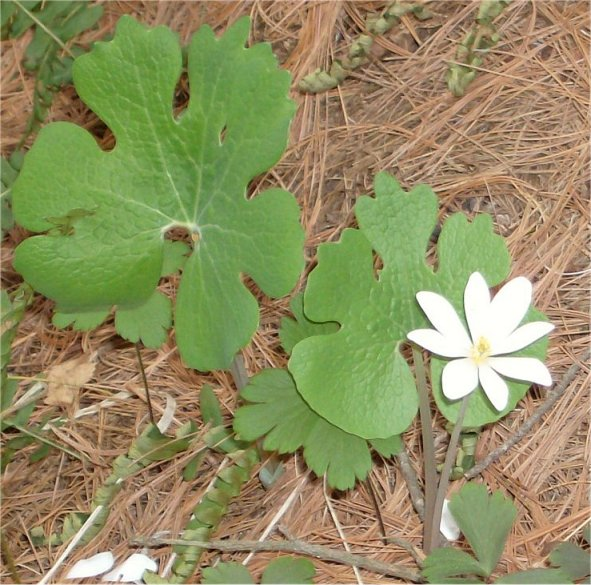 Common Name(s): Bloodroot
