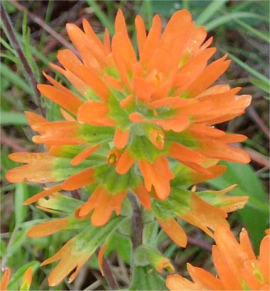 Scientific Name: Castilleja coccinea 