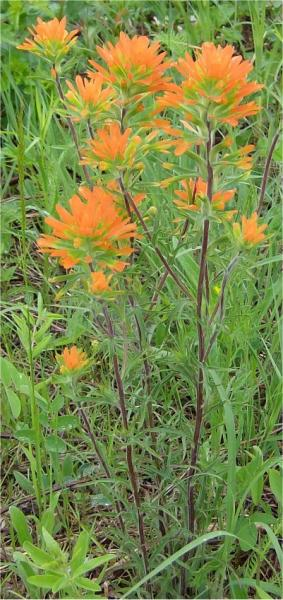 Common Names: scarlet Indian paintbrush, Indian paintbrush, Painted Cup