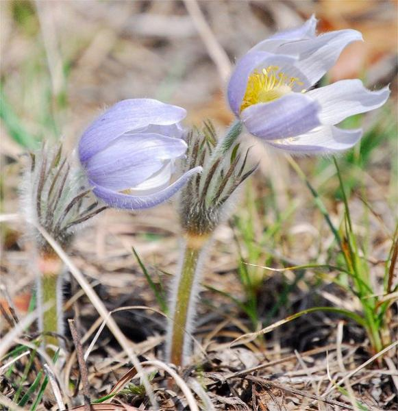 Common Name(s):Pasqueflower, Prairie Smoke, May Day flower, Cutleaf anemone
