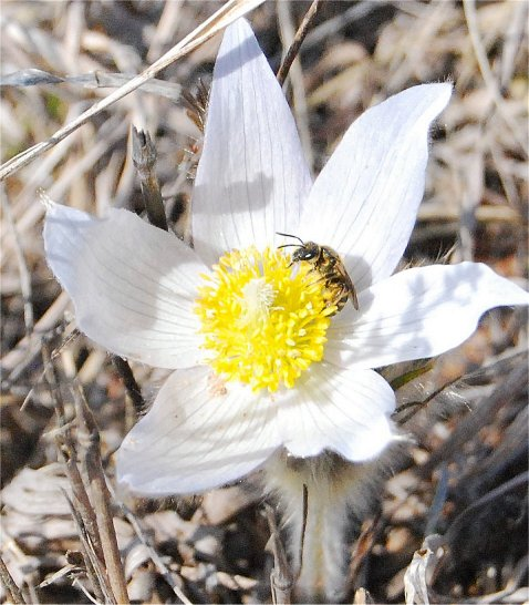 Pasqueflower with Bee (probable Family Halictidae - Sweat Bees)