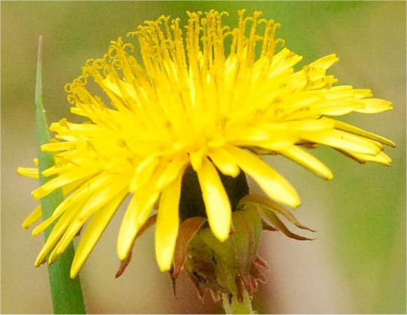 Common name(s): Dandelion, (g.d.) weed, 