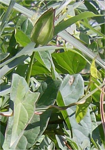 Hedge false bindweed Leaf and Bud.