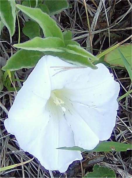 Common Name(s):Low false bindweed, upright bindweed, erect bindweed