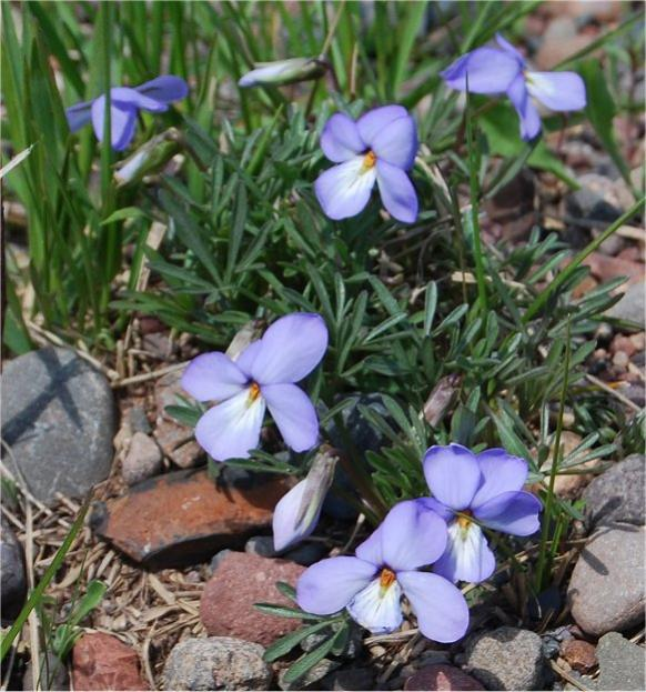 Patch of Birdfoot Violets in bloom.