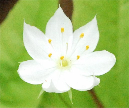 Common Name(s): Starflower, Northern Starflower