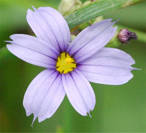 Common Name(s): Mountain blue-eyed-grass, Strict blue-eyed grass