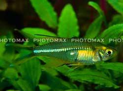 C.rainbow fish