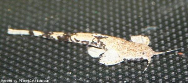 catfish14 (Pterobunocephalus dolichurus)