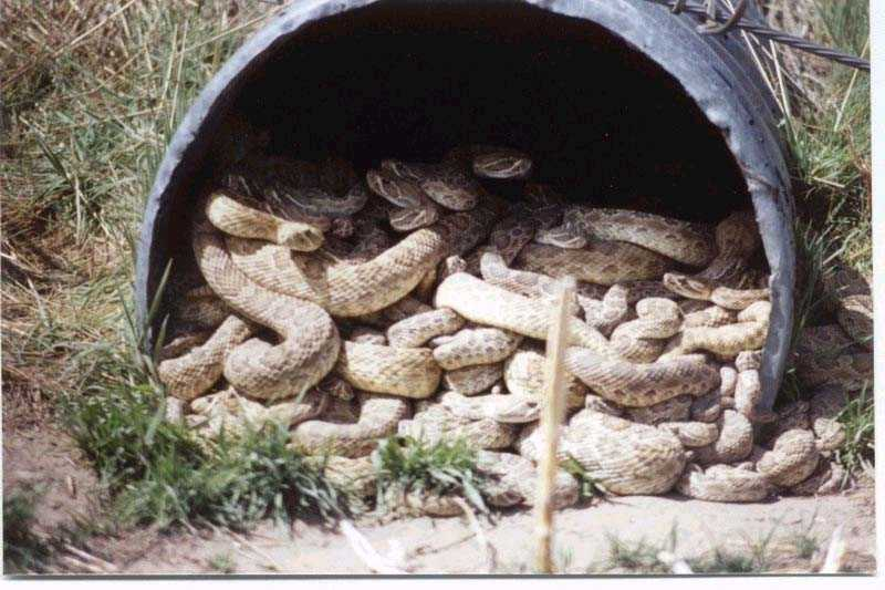 Culvert Full of Snakes