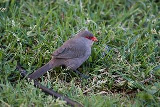 Waxbill on our lawn