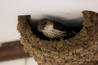 European swallow building a nest