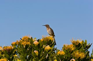 Male Cape sugarbird on pincushion flowers
