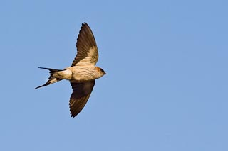 European swallow in flight