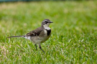 Wagtail.  They walk into the house to feed.
