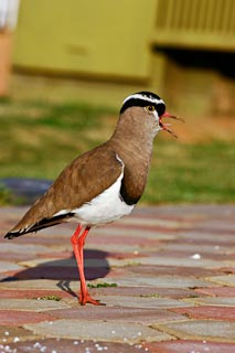 Plover in my driveway