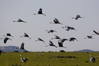Blue cranes.  Our national bird.
