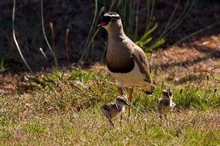 Plover with chicks in our garden