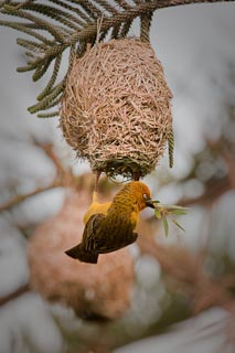 Weaver male decorating nest inside