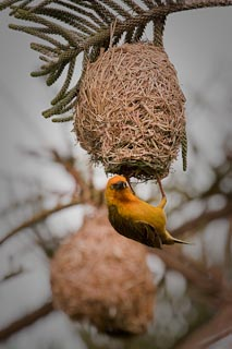Weaver male building a nest