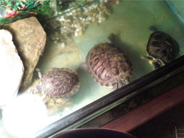 My 3 aquatic turtles getting real active and ready for outdoor pond life again.