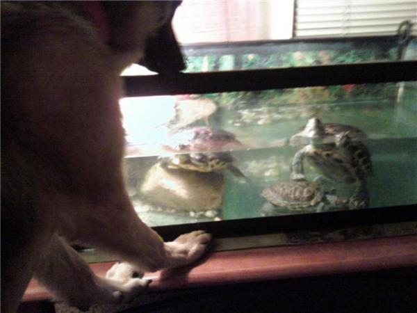 Sasha looking in on the turtles.