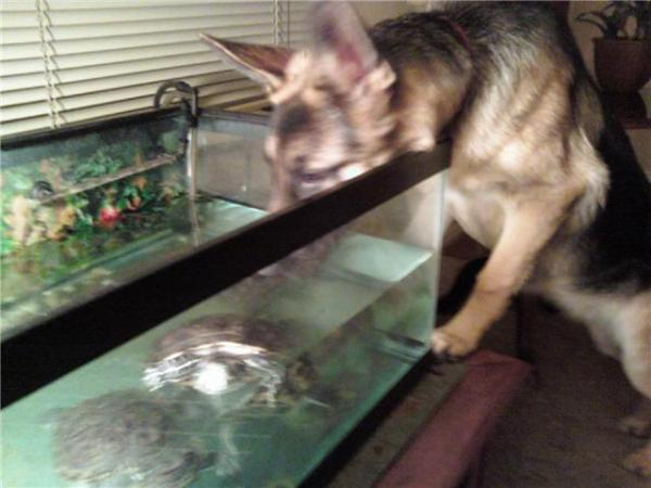 My dog Sasha looking in at my turtles. She spends hours everyday observing them.