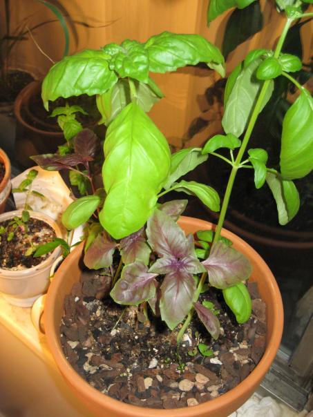 Herbs 016