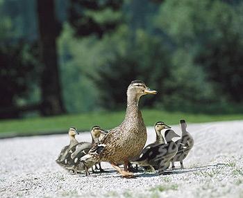duck.wild
