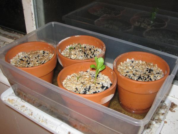 Spinach seedlings in charcoal + perlite