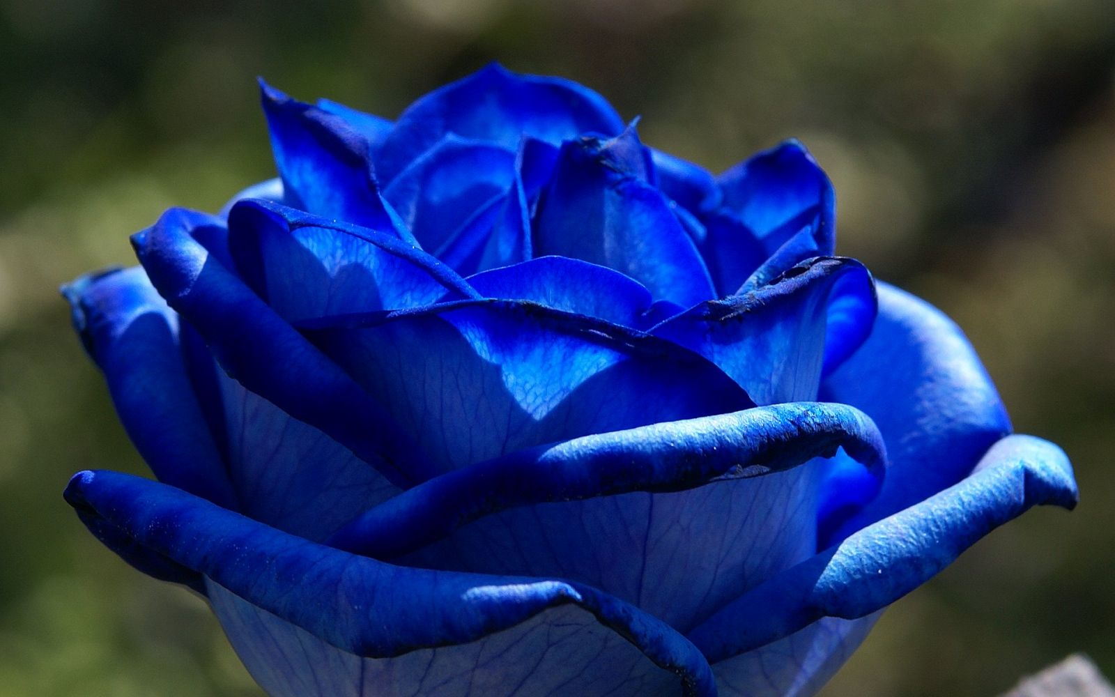 First blue rose
