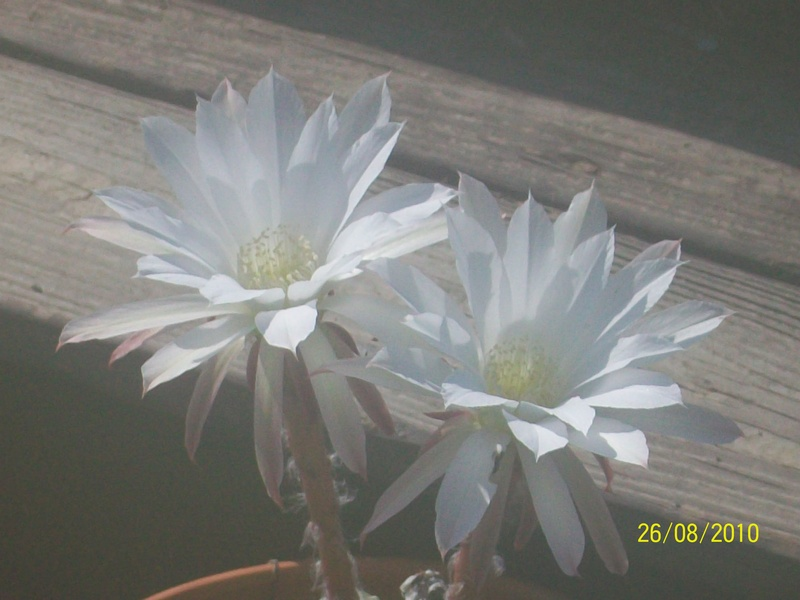 Cactus bloom 011s