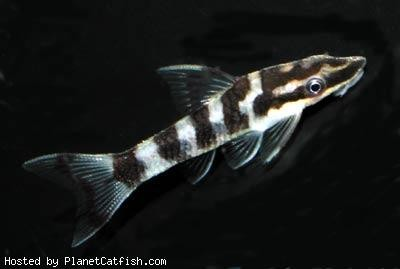 catfish65 (Otocinclus cocama)