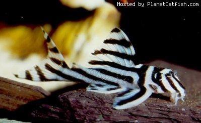 catfish63 (Hypancistrus zebra)