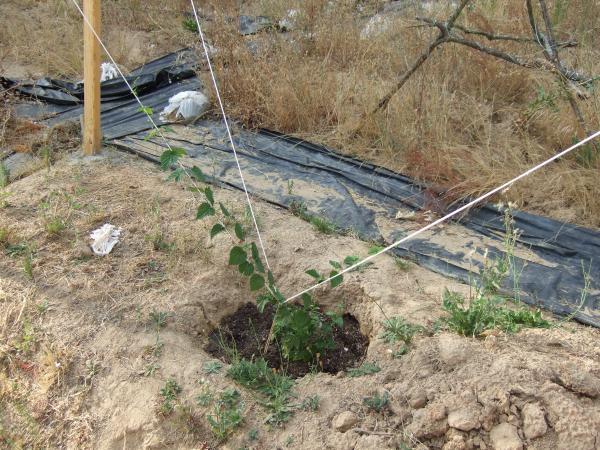 Around July 27, the longest vine is already 4 feet long.