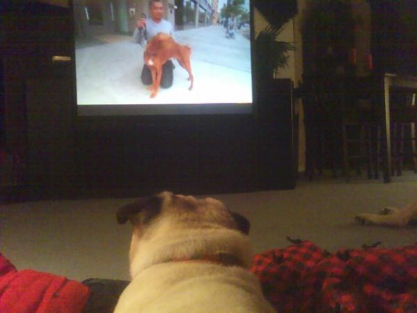 My dog Pugsley watching his favorite show, The Dog Whisperer.