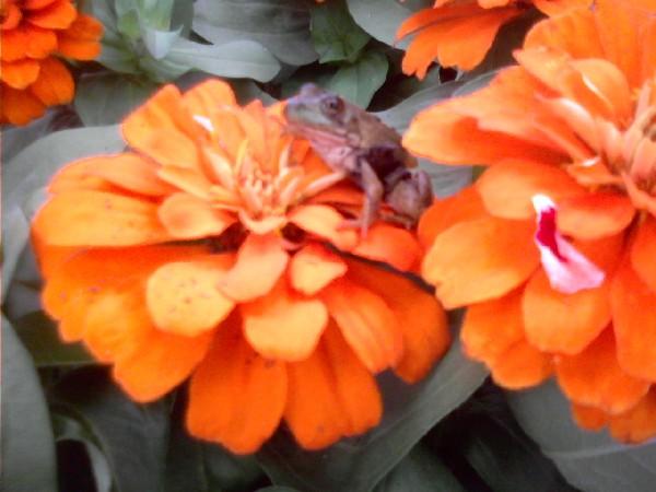 flower frog?