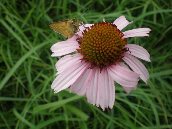 Unidentified prairie flower, Tallgrass Prairie National Preserve, Kansas