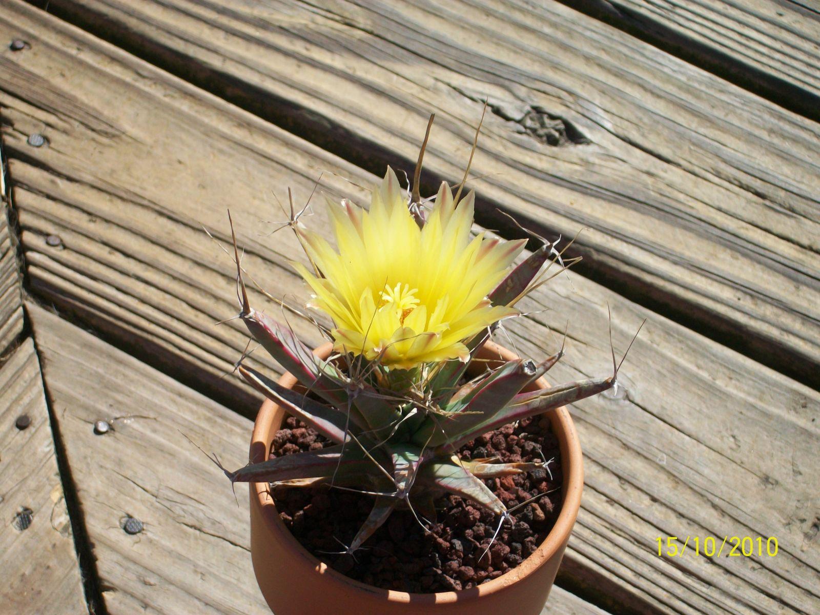 Cactus bloom 013