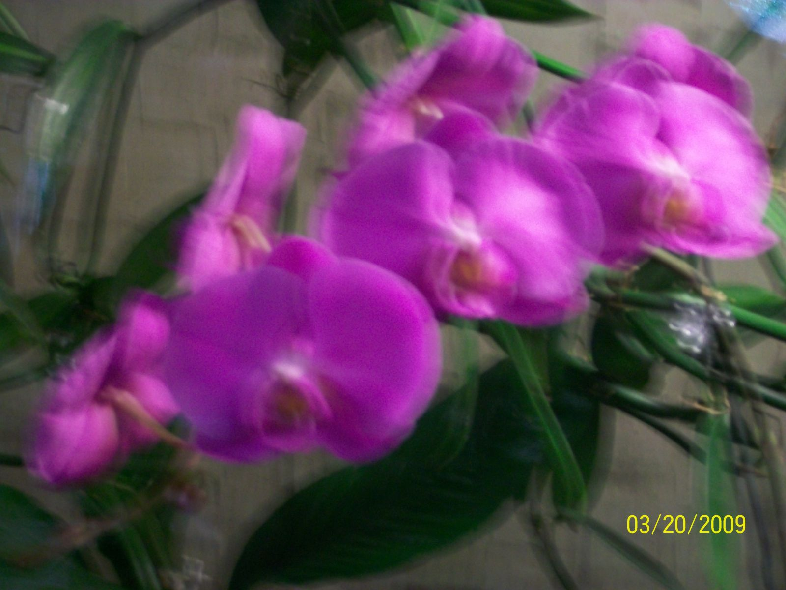 Orchids1 004
